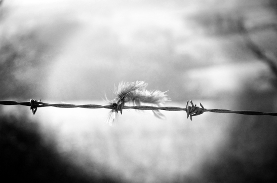 Feather_BarbedWire